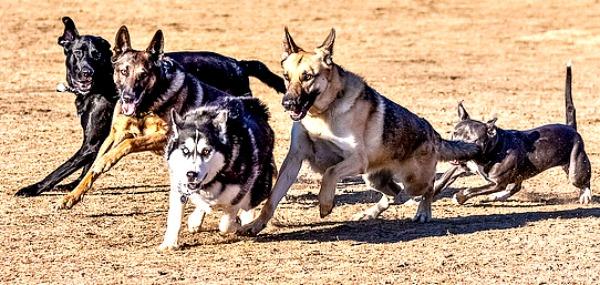 Feral Dog Rescue